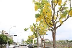 旱溪阿勃勒「黃金雨」再現 民眾驚喜賞美景