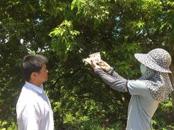 以蟲剋蟲 農業局用平腹小蜂防治荔枝椿象