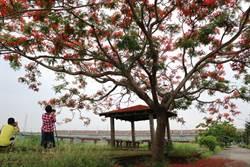 鳳凰樹美翻了 攝影秘境就在潮州舊鐵橋旁