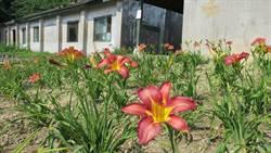 紅色金針花! 彰化花壇舊營區、岩竹村盛開
