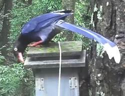 奧萬大鳥巢箱 可就近觀察山鳥育雛