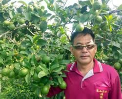 為了這個原因 前村長改種有機檸檬