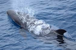 19年來數量最多 百隻偽虎鯨現身花蓮