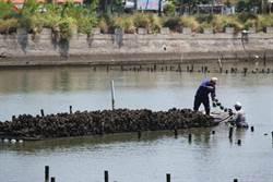 豪大雨將至 沿海漁民搶收鮮蚵