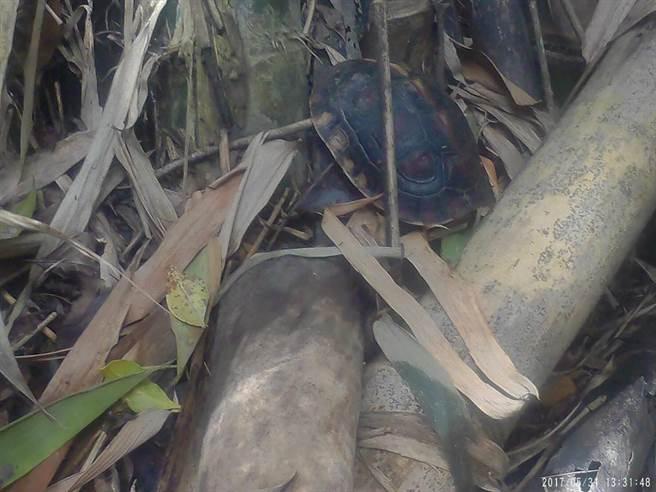 食蛇龜被屏東林管處安置野放。(周綾昀翻攝)