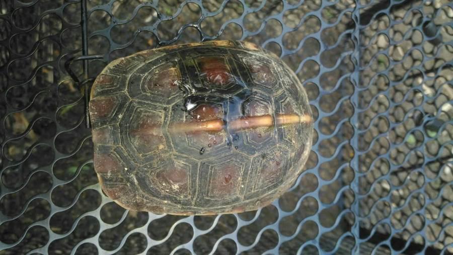 不幸落入誘捕陷阱的食蛇龜,受到驚嚇縮頭不敢出。(周綾昀翻攝)