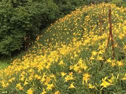 夢幻金針花不用飛奔太麻里 彰化花壇也有黃金秘境