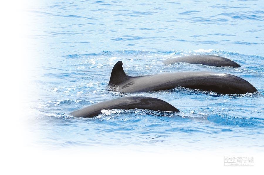 近20隻偽虎鯨群還主動靠近船隻,浮出水面作出跳躍動作。(多羅滿賞鯨公司提供)