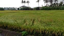 高雄市一期水稻受損