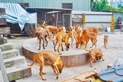 飼主入獄 40隻高山犬待領養