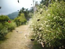 北埔南外社區蝴蝶祭 6月17日登場