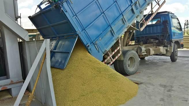 一期稻作進入採收尾聲,碾米業者加班待命。(圖/莊曜聰)