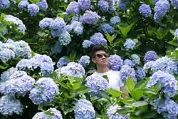 紫色夏日派對 竹子湖紫繡球花滿開