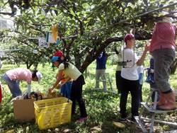 三灣梨成熟了 梨農邀果樹認養人來採果