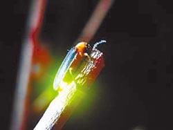 兩岸保護螢火蟲 淘寶不再賣螢