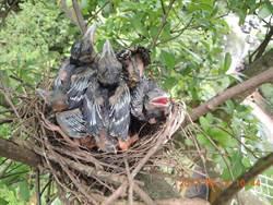 台灣藍鵲現蹤北市 8幼鳥遭獵捕幸追回