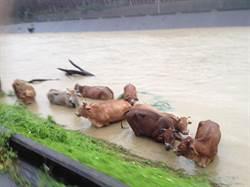豪雨來襲河水高漲 新竹香山區8隻牛待救援