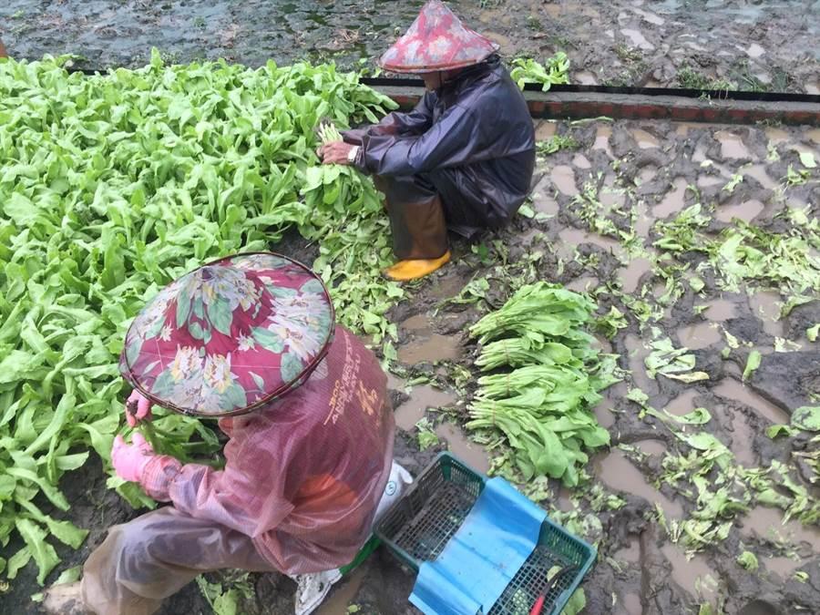 豪雨胞來襲,西螺菜農冒雨搶收菜。(周麗蘭攝)
