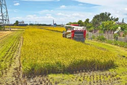 稻農搶收 農會協調代烘工廠