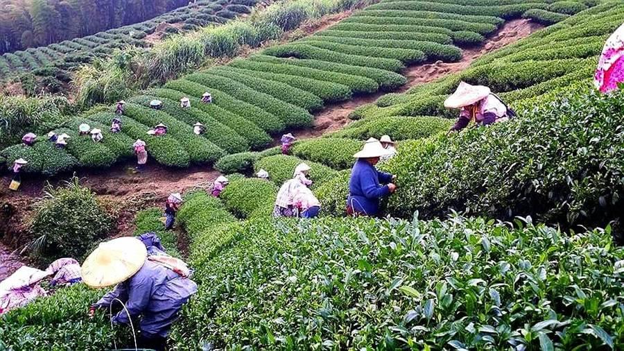 南投縣茶葉產量居全國之冠,茶園景觀秀麗,採茶姑娘更添秀色。(廖志晃攝)