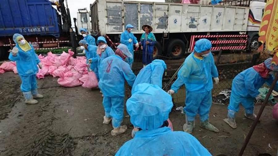 防疫人員將撲殺的禽屍清運送化製。(雲林縣動植物防疫所提供)