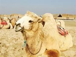 金犢學生體驗沙漠風情塞上江南公益課程