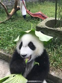 有夠萌!貓熊頭戴荷葉露出兩耳