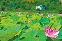中埔、水上70甲地蓮花盛開