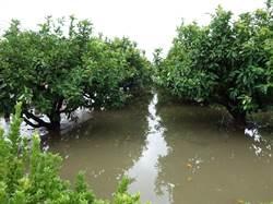 避免果樹染病 農改場提醒:進行田區排水
