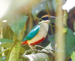 雲林八色鳥 吸引國際鳥友