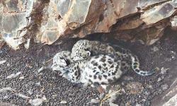 雪豹現蹤青海 兩幼獸心肝寶貝
