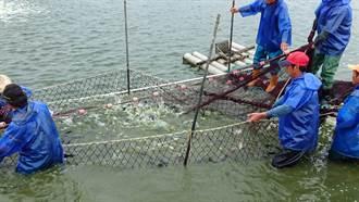 吳郭魚湖泊病毒 農委會:台南種魚場沒問題