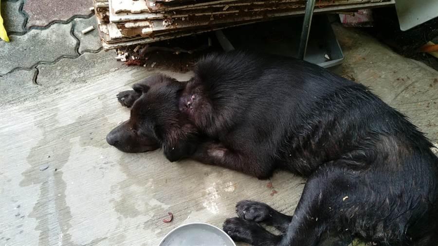 小黑狗「旺旺」無法站立,癱在地上仍不斷搖尾巴。(高市關懷流浪動物協會提供)