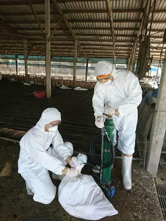 台南下營蛋鴨場染禽流感 全場6796隻遭撲殺