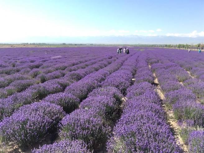 薰衣草偏好日照充足、乾燥的生長環境,使得伊犁成為種植薰衣草的絕佳基地。(圖/劉佳妮攝)