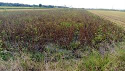 黑豆枯死無補助 水林農民欲哭無淚