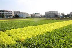 梓官蔬菜專區遇雨則淹  農委會急改善排水設施護菜