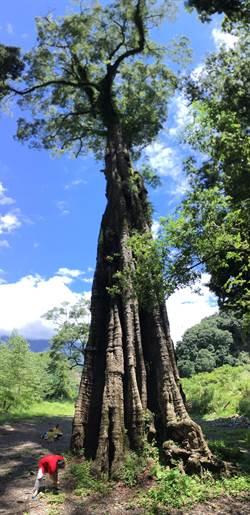 「神木村」地名由來! 南投巨樟神木挺過6月致災豪雨