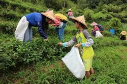 推廣坪林有機茶 親子體驗採茶樂