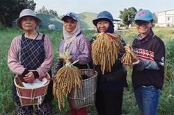 小米連續遭竊 射馬干部落小米收穫祭仍將如期舉行