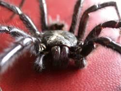 遭巨型上戶蜘蛛咬傷 老婦中毒送醫保命