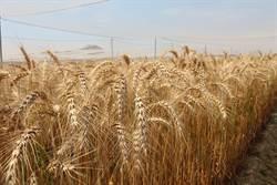 產量增17%  新種低筋小麥今冬開種