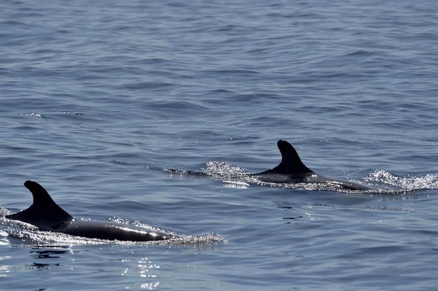 偽虎鯨連續3天在台東成功外海現蹤。(莊哲權攝)