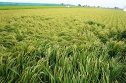 水稻保險理賠機率幾乎零 雲縣府:農民想保縣府就力挺