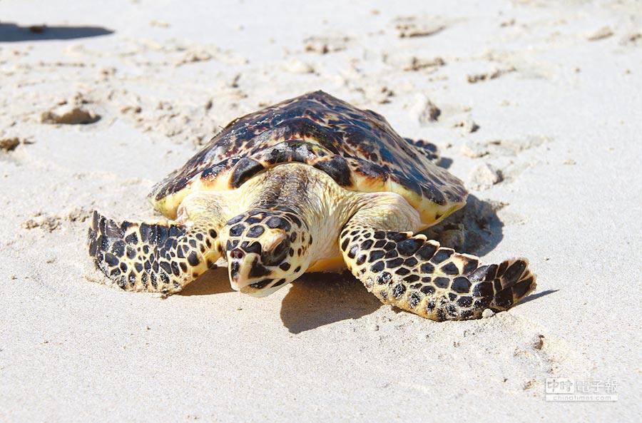 海龜爬向大海。(新華社)