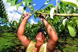 尼莎颱風影響 農民展開防颱措施