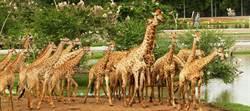 泰國沙法里動物園 長頸鹿數量世界第一