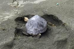 颱風天 綠蠵龜媽媽「凍未條」大白天上岸產卵