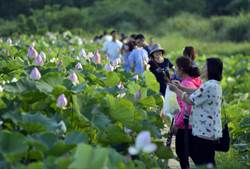 休閒農業區成立 桃園蓮花季今年遊客翻倍