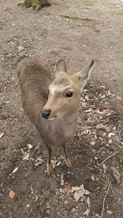 受不了小鹿亂撞!日本奈良啟動捕鹿計畫